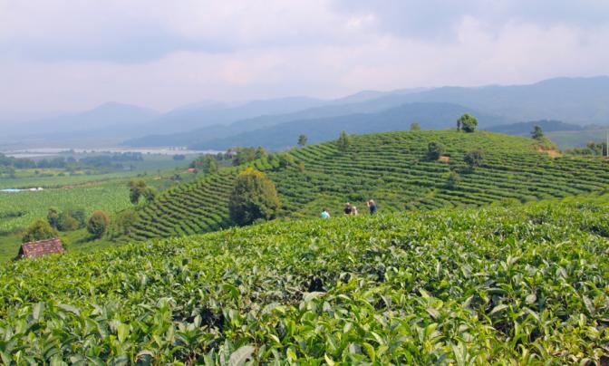 The tea mountains
